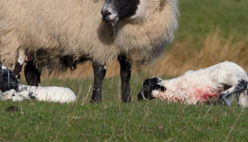 Sheep_with_New_Lambs_ 11_advice_banner