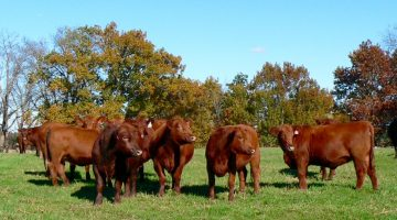 sunrise-veterinary-services-visit-to-bowden-s-red-angus-1_3 (1)