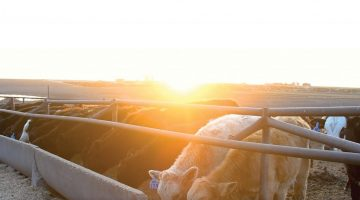 feedlot_pic-scaled